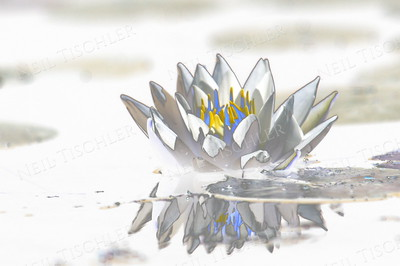 #863  Abstract of a white Water Lily