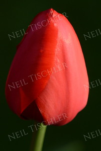 #973  Red Tulip closeup