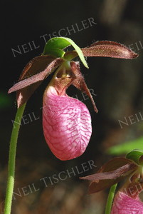 A#679  A pink Lady's-slipper grows among the shaded roots of pine trees