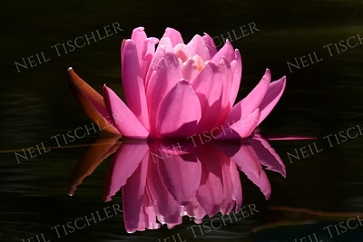 #1388  Pink Water Lily    Photographed on Damariscotta Lake in  Maine
