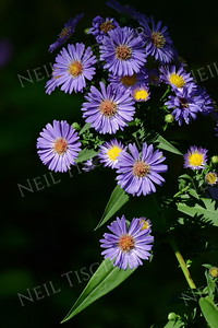 #1021  Purple Asters add color to the early fall days