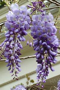 #102  Purple Wisteria blossoms dangle from the vine
