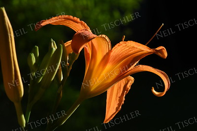 #1401  Orange Daylily