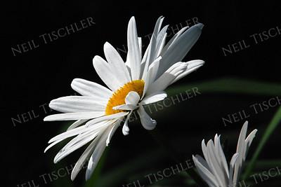 #639  Daisy