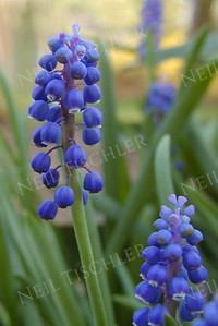 #025  Grape Hyacinth blooms in springtime