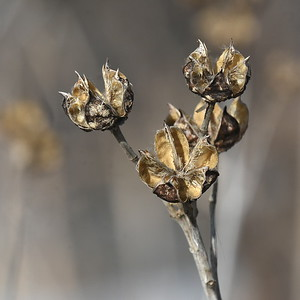 #1485  Dried seed pods