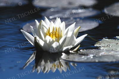 #849  A Water Lily blossom