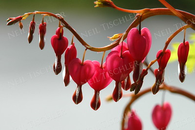 #467  Bleeding Heart branches arch outward each spring