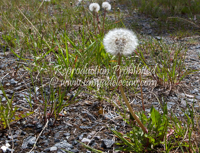 Spring dandelion. May 2012