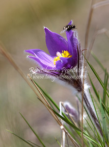 Prairie crocus. April 2012