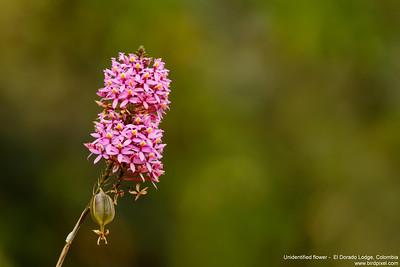 Unidentified flower -  El Dorado Lodge, Colombia