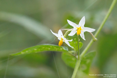 Flowers of Colombia - Minca, Colombia