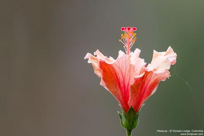 Hibiscus - El Dorado Lodge, Colombia