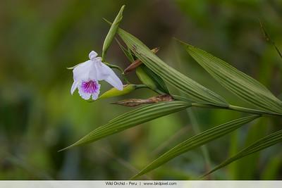 Wild Orchid - Peru