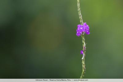 Unknown flower - Reserva Arena Blanca, Peru