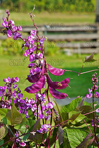 Hyacinth Bean, Indian Bean, Lablab Bean, Lab-lab Bean, Poor Man's Bean, Tonga Bean, Banner Bean, Field Bean, Pig-ears, Calavance, Egyptian Bean, Njahi, Bulay, Bataw, or Selm (Lablab purpureus).