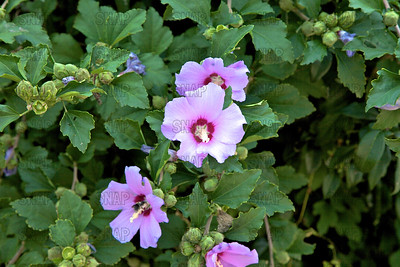 Rose of Sharon, Shrub Althea, Rose Althea, Rose Mallow, or St Joseph's Rod (Hibiscus syriacus).