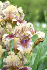 Patacake Iris, at Winton's Iris Hill Franklin, IN - http://wintonirishill.com/