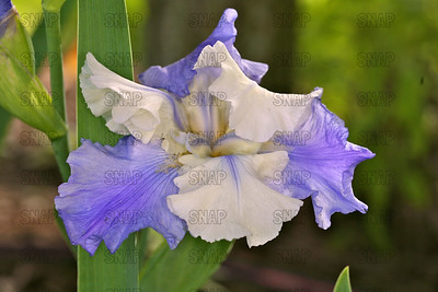 Stairway To Heaven Iris, at Winton's Iris Hill Franklin, IN - http://wintonirishill.com/
