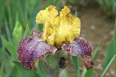 Temporal Anomaly Iris, at Winton's Iris Hill Franklin, IN - http://wintonirishill.com/