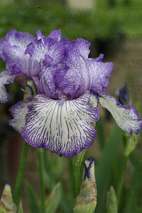 Autum Circus Iris, at Winton's Iris Hill Franklin, IN - http://wintonirishill.com/
