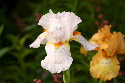 Snowy Wonder Iris, at Winton's Iris Hill Franklin, IN - http://wintonirishill.com/