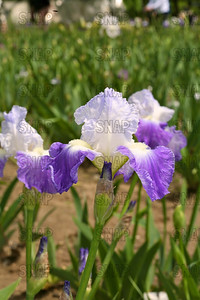 Clarence Iris, at Winton's Iris Hill Franklin, IN - http://wintonirishill.com/