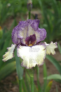 Progressive Attitude Iris, at Winton's Iris Hill Franklin, IN - http://wintonirishill.com/