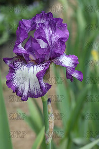 Bountiful Harvest Iris, at Winton's Iris Hill Franklin, IN - http://wintonirishill.com/