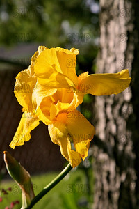 Trumpet Call Iris, at Winton's Iris Hill Franklin, IN - http://wintonirishill.com/