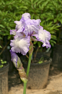 Lady Essex Iris, at Winton's Iris Hill Franklin, IN - http://wintonirishill.com/