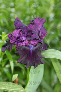 Badlands Iris, at Winton's Iris Hill Franklin, IN - http://wintonirishill.com/