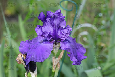 Dusty Challenger Iris, at Winton's Iris Hill Franklin, IN - http://wintonirishill.com/