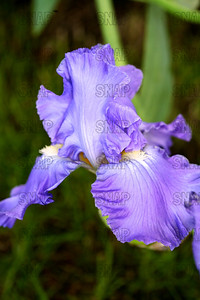 Titan Glory Iris, at Winton's Iris Hill Franklin, IN - http://wintonirishill.com/
