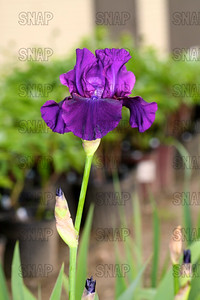 Rosalie Figge Iris, at Winton's Iris Hill Franklin, IN - http://wintonirishill.com/