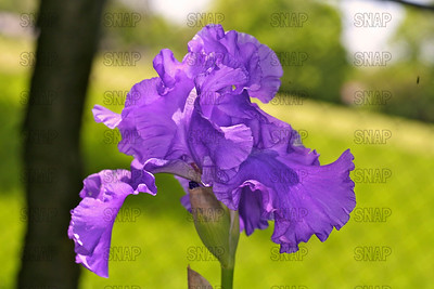 Venus & Mars Iris, at Winton's Iris Hill Franklin, IN - http://wintonirishill.com/