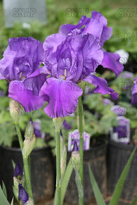 Violet Returns Iris, at Winton's Iris Hill Franklin, IN - http://wintonirishill.com/