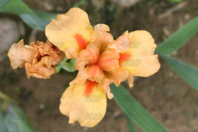 Extreme Orange Iris - Close-up, at Winton's Iris Hill Franklin, IN - http://wintonirishill.com/
