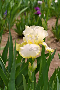 Lemon Duet Iris, at Winton's Iris Hill Franklin, IN - http://wintonirishill.com/
