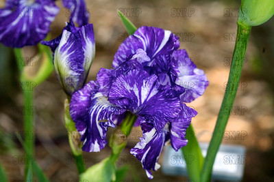 Before The Storm Iris, at Winton's Iris Hill Franklin, IN - http://wintonirishill.com/