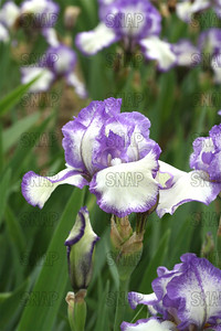 Unknown Plicata Iris, at Winton's Iris Hill Franklin, IN - http://wintonirishill.com/
