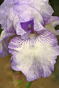 Lady Essex Iris - Close-up, at Winton's Iris Hill Franklin, IN - http://wintonirishill.com/