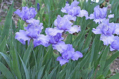Fathom Iris, at Winton's Iris Hill Franklin, IN - http://wintonirishill.com/