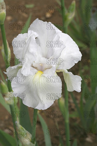 Forever Yours Iris, at Winton's Iris Hill Franklin, IN - http://wintonirishill.com/