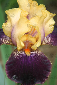 Devil's Riot Iris - Close-up, at Winton's Iris Hill Franklin, IN - http://wintonirishill.com/