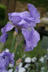 Sea Double Iris, at Winton's Iris Hill Franklin, IN - http://wintonirishill.com/