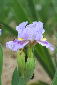 Meow Iris, at Winton's Iris Hill Franklin, IN - http://wintonirishill.com/