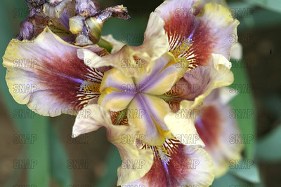 Patacake Iris - Close-up, at Winton's Iris Hill Franklin, IN - http://wintonirishill.com/