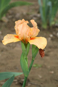 Extreme Orange Iris, at Winton's Iris Hill Franklin, IN - http://wintonirishill.com/