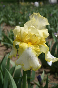 Amain Iris, at Winton's Iris Hill Franklin, IN - http://wintonirishill.com/